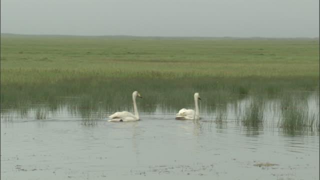 Whooper swans swim across lake, Bayanbulak grassland.