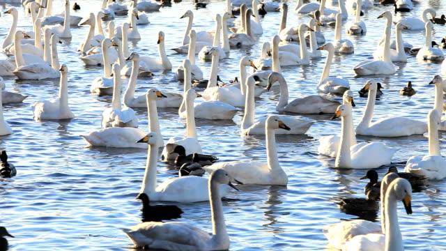 vidéos et rushes de whooper swans - cygne