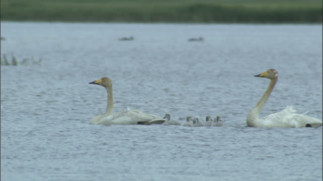 Whooper swans with cygnets chase other swans away, Bayanbulak grasslands.