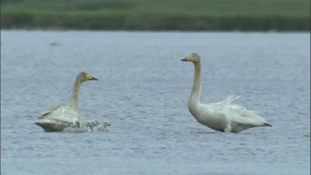 whooper swans with cygnets display to each other, bayanbulak grasslands. - cygnet stock videos & royalty-free footage