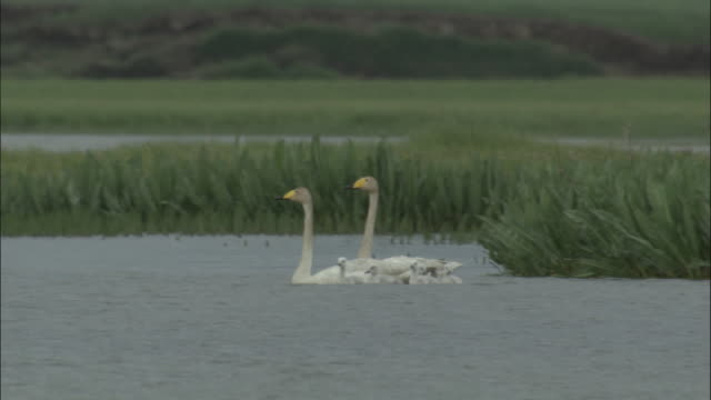 whooper swans with cygnets swim on lake, bayanbulak grasslands. - gruppo medio di animali video stock e b–roll