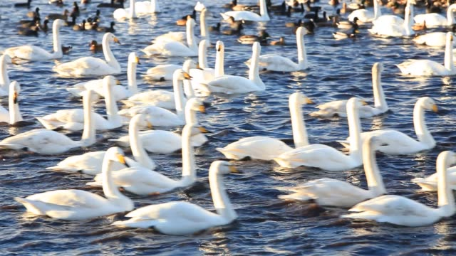 whooper swans (cygnus cygnus) with ducks and geese at martin mere, lancashire, uk. - water bird stock videos & royalty-free footage