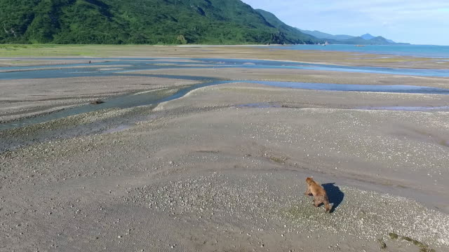 Wide aerial following a Brown Bear walking across a coastal river mouth