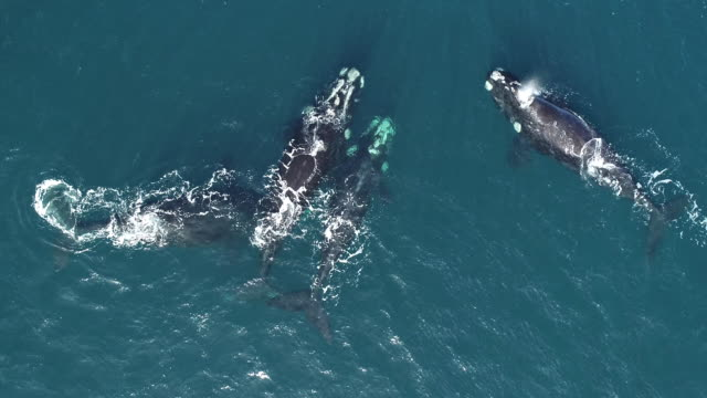 wide aerial view of several southern right whales in a mating group at the surface, nuevo gulf, valdes peninsula, argentina. - female with group of males stock videos & royalty-free footage