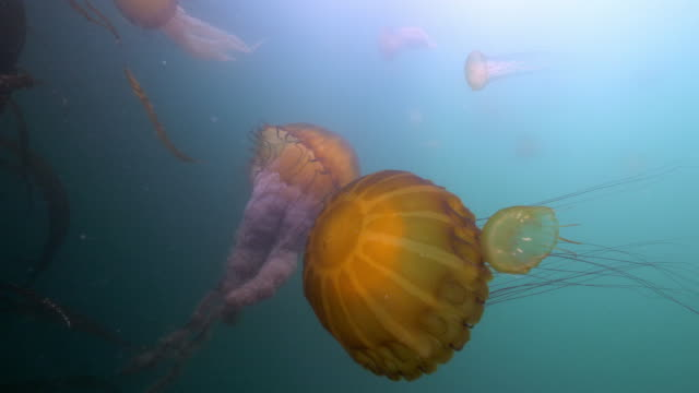 wide angle: a couple of jellyfish pass each other as they swim in the ocean  - monterey, ca - nettle stock videos & royalty-free footage