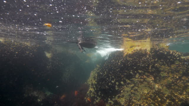 wide angle: a duck's webbed foot paddling in the ocean towards a reef - monterey, ca - ムール貝点の映像素材/bロール