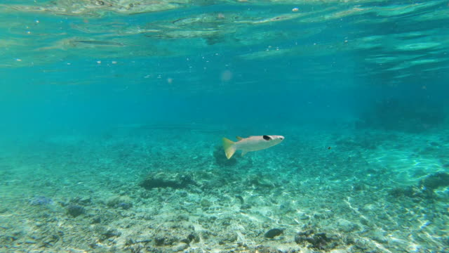 wide angle: a fish swimming at the surface of the clear shallow water above a reef in the south pacific ocean off moorea - moorea stock videos & royalty-free footage