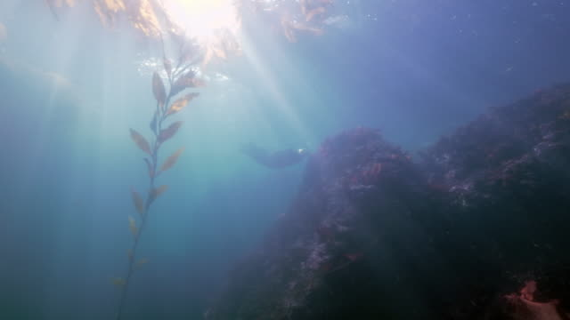 wide angle: a fish swimming near seaweed and a sea lion exploring a reef - monterey, ca - sea lion stock videos & royalty-free footage