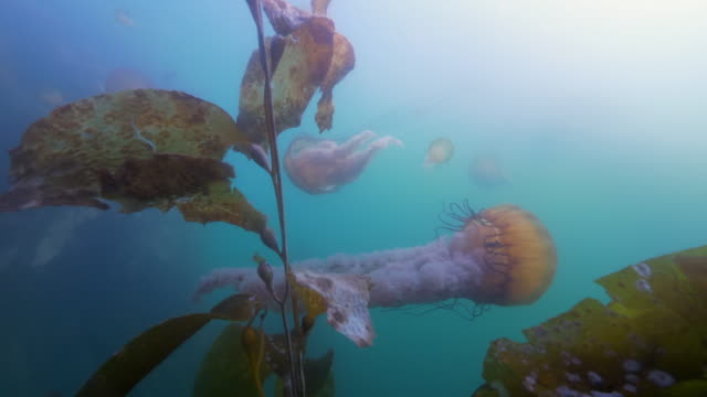 wide angle: a group of jellyfish floating in the murky ocean - monterey, ca - nettle stock videos & royalty-free footage