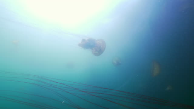wide angle: a group of jellyfish moving through the ocean - monterey, ca - nettle stock videos & royalty-free footage