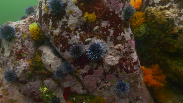 wide angle: a group of spikey sea urchins cover coral in the ocean - carmel, ca - ウニ点の映像素材/bロール