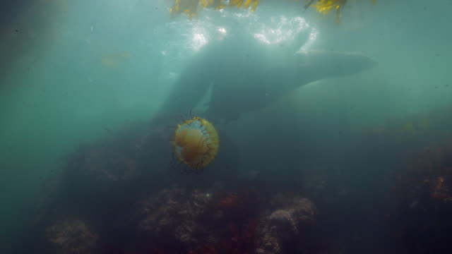 wide angle: a jellyfish floating near sea lions playfully swimming over a reef - monterey, ca - nettle stock videos & royalty-free footage