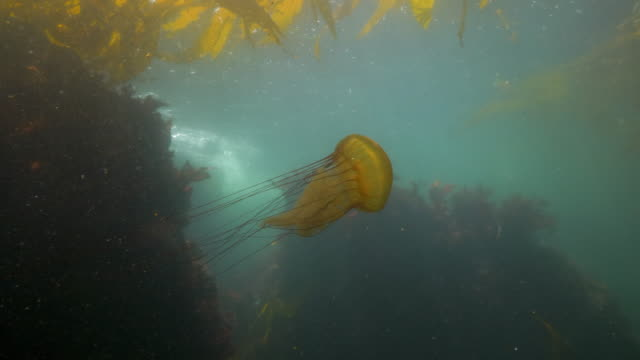 wide angle: a jellyfish swimming over a reef towards seaweed  - monterey, ca - nettle stock videos & royalty-free footage