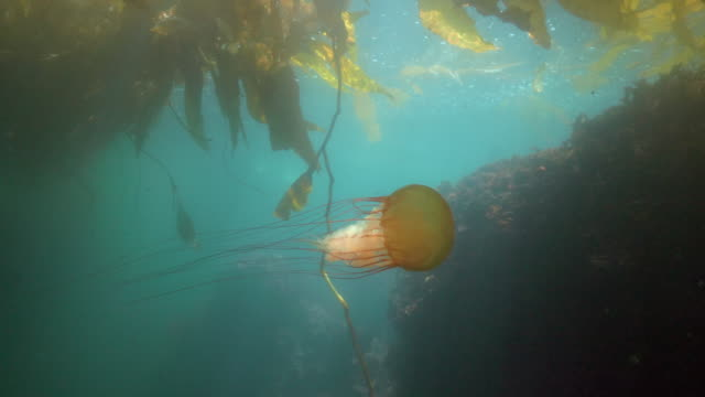 wide angle: a jellyfish swimming under seaweed towards a reef - monterey, ca - nettle stock videos & royalty-free footage