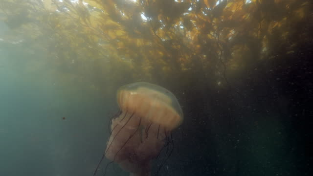 wide angle: a jellyfish under a patch of seaweed floating on the surface of the ocean  - monterey, ca - nettle stock videos & royalty-free footage