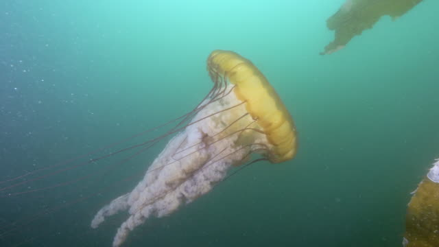 wide angle: a large jellyfish swimming up to seaweed - monterey, ca - tentacle stock videos & royalty-free footage