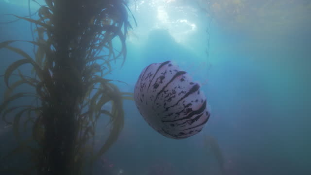 wide angle: a purple sea nettle swims around kelp paddy - monterey, ca - tentacle stock videos & royalty-free footage