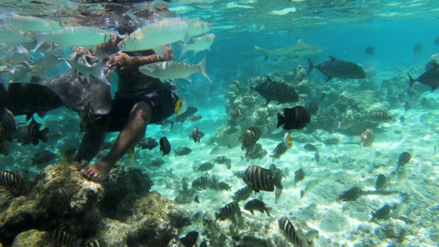 wide angle: a school of fish swimming around a man standing on the reef petting a stingray in the south pacific ocean in moorea - moorea stock videos & royalty-free footage
