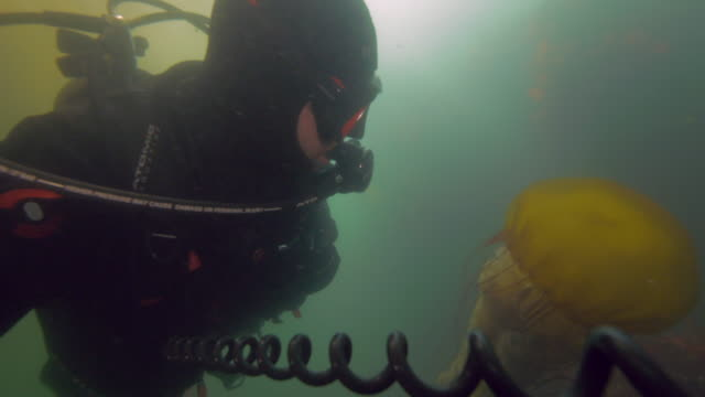 wide angle: a scuba diver observing a jellyfish - monterey, ca - nettle stock videos & royalty-free footage