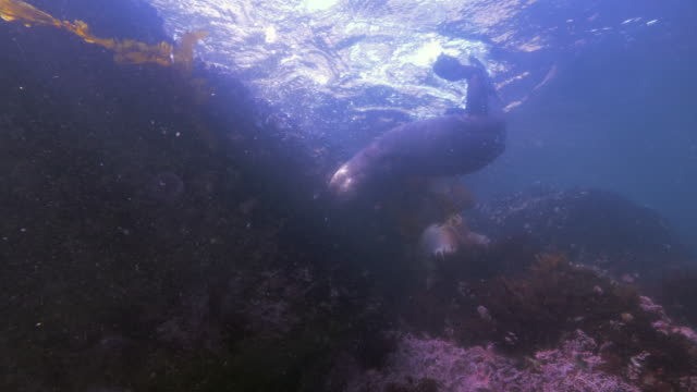 wide angle: a sea lion exploring a reef at the surface of the ocean - monterey, ca - otter stock videos & royalty-free footage
