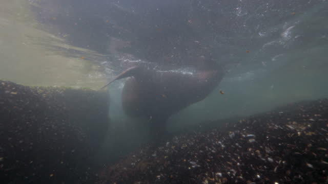 wide angle: a sea lion going up for air while hoovering over a reef - monterey, ca - ムール貝点の映像素材/bロール