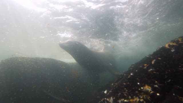 wide angle: a sea lion going up for air while sitting on a reef - monterey, ca - ムール貝点の映像素材/bロール