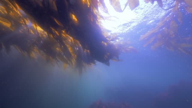 wide angle: a sea lion swimming on top of seaweed at the surface of the ocean - monterey, ca - lontra video stock e b–roll