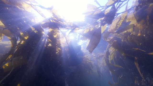 wide angle: a sea lion swimming through a kelp paddy - monterey, ca - sea lion stock videos & royalty-free footage