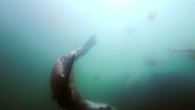 wide angle: a sea lion swims around a group of jellyfish in the murky ocean - monterey, ca - sea lion stock videos & royalty-free footage