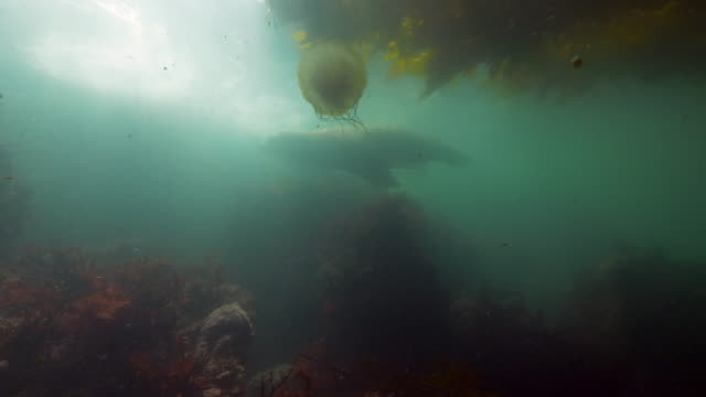 wide angle: a sea lion swims past a jellyfish floating under a kelp paddy - monterey, ca - nettle stock videos & royalty-free footage