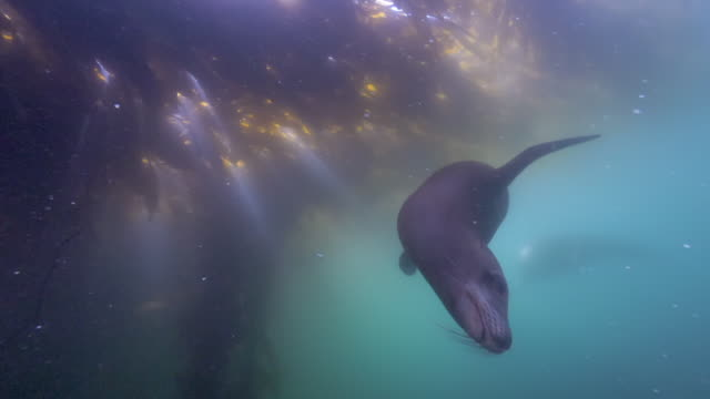 wide angle: a sea lion swims under a patch of seaweed in the ocean - monterey, ca - sea lion stock videos & royalty-free footage