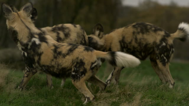SLO MO wide angle African wild dogs (Lycaon pictus) play fighting, UK