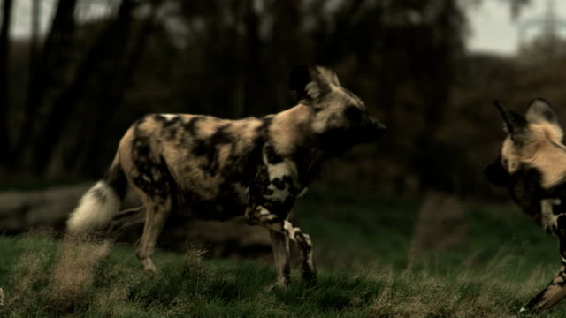 SLO MO wide angle African wild dogs (Lycaon pictus) trotting about, come together, UK