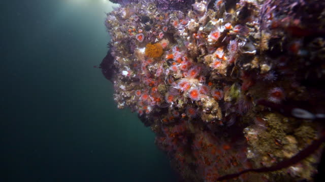 wide angle: coral covered in tube anemones - monterey, ca - seepocke stock-videos und b-roll-filmmaterial
