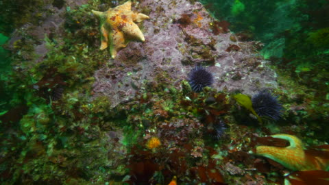 wide angle: different kinds of starfish, sea snails and sea urchins on coral - carmel, ca - ウニ点の映像素材/bロール