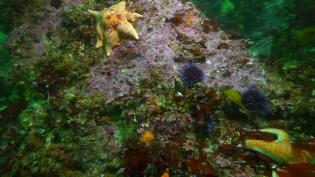 wide angle: different kinds of starfish, sea snails and sea urchins on coral - carmel, ca - ricci di mare video stock e b–roll