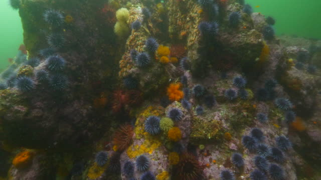 wide angle: fish swim above coral covered in sea urchins and sea anemones - carmel, ca - ricci di mare video stock e b–roll