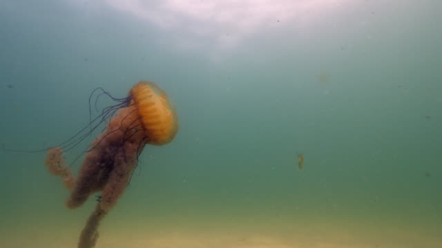 wide angle: giant jellyfish floating in the murky ocean water - monterey, ca - nettle stock videos & royalty-free footage
