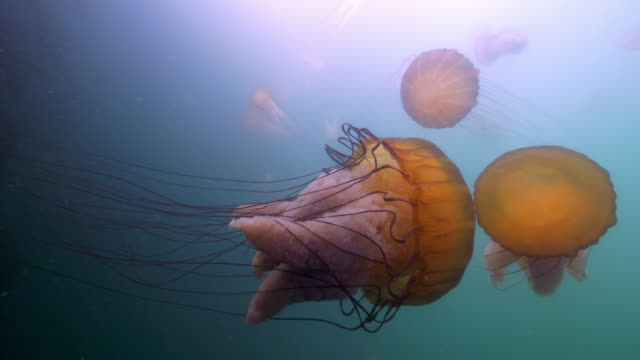 stockvideo's en b-roll-footage met wide angle: jellyfish collide with each other in the ocean - monterey, ca - overige