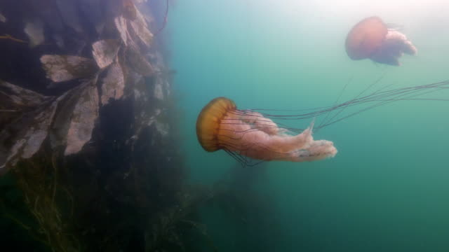 wide angle: jellyfish floating towards seaweed in the murky ocean - monterey, ca - nettle stock videos & royalty-free footage