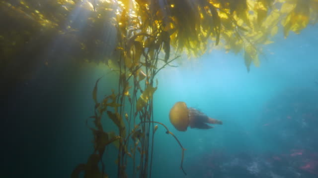 wide angle: large jellyfish swim through a kelp paddy - monterey, ca - large stock videos & royalty-free footage