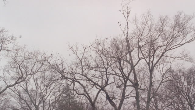 vídeos de stock e filmes b-roll de wide angle of flock of birds flying and landing in bare branches of trees. overcast sky. could be woods or forest. - bare tree