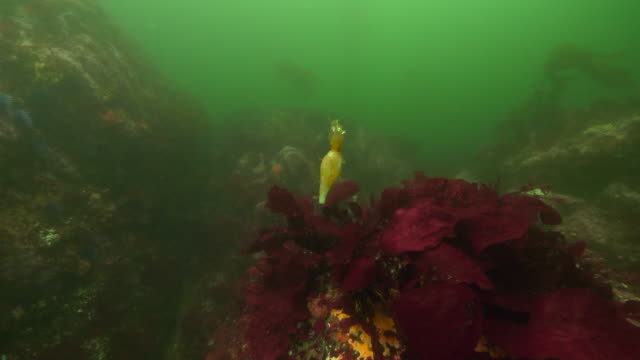 wide angle: piece of a seaweed part floating around a sea plant - carmel, ca - bladder stock videos and b-roll footage