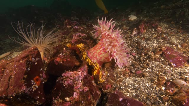 wide angle: reef with sea urchins, sea pen and sea anemones on it - ウミエラ点の映像素材/bロール