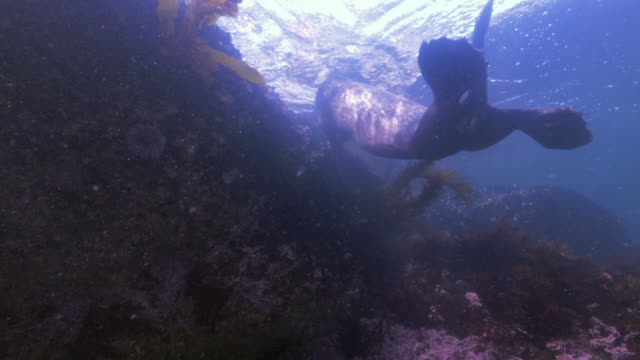 wide angle: sea lion swimming at the surface of ocean above a reef - monterey, ca - otter stock videos & royalty-free footage