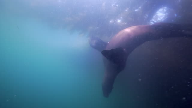 wide angle: sea lion swimming closely to a kelp paddy - monterey, ca - kelp stock videos & royalty-free footage