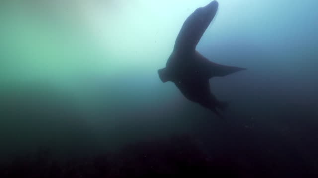 wide angle: sea lion swimming under a kelp paddy - monterey, ca - sea lion stock videos & royalty-free footage