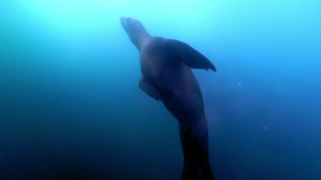 wide angle: sea lion swims towards the surface of the ocean - monterey, ca - sea lion stock videos & royalty-free footage