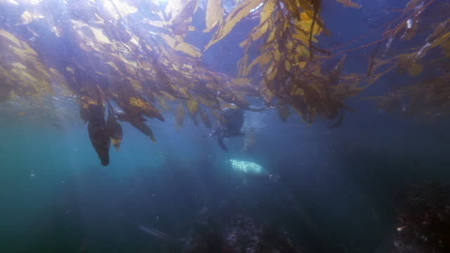 wide angle: sea lions swimming through a patch of seaweed above a reef - monterey, ca - sea lion stock videos & royalty-free footage