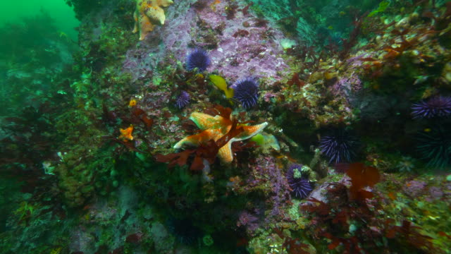wide angle sea urchins surround a starfish in the ocean - carmel, ca - ricci di mare video stock e b–roll